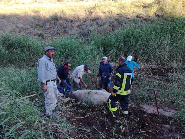 Bataklığa saplanan inekler kurtarıldı