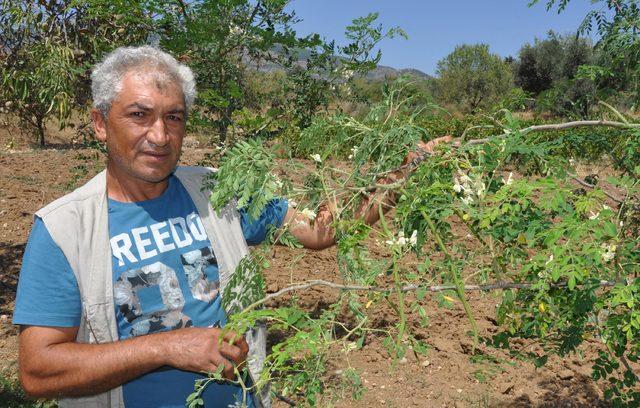 Datça'da moringa ağacı yetiştiriyor