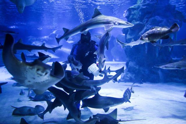 Balık adamların köpek balığı besleme şovu