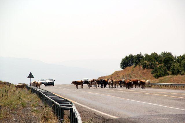 Karayoluna giren inekler yüzünden trafik durdu