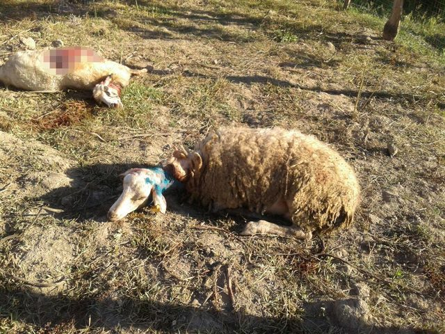 Sinop'ta, kurtlar 8 koyunu telef etti