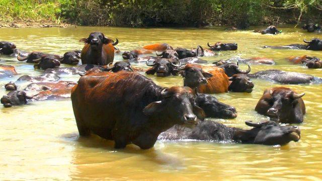 Sıcaktan bunalan hayvanlar, nehirde serinletiliyor