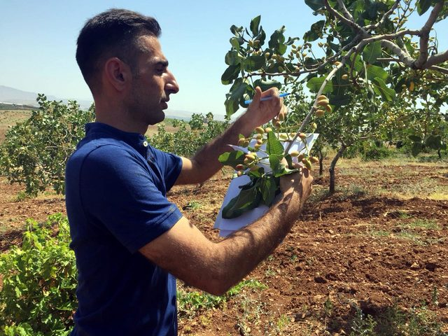 Siirt'te hasadı yapılacak olan fıstık ağaçları tek tek sayılıyor