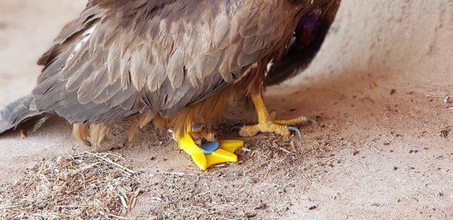 'Hayat tamircisi' bu kez kartala protez ayak yaptı