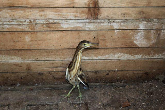 Nesli tükenen kuşu yaralı buldu