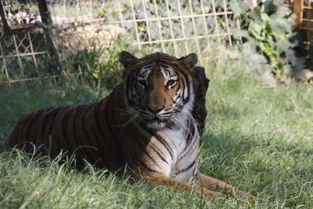 Aref'in el konulan kaplanı Antalya'da hayvanat bahçesinde