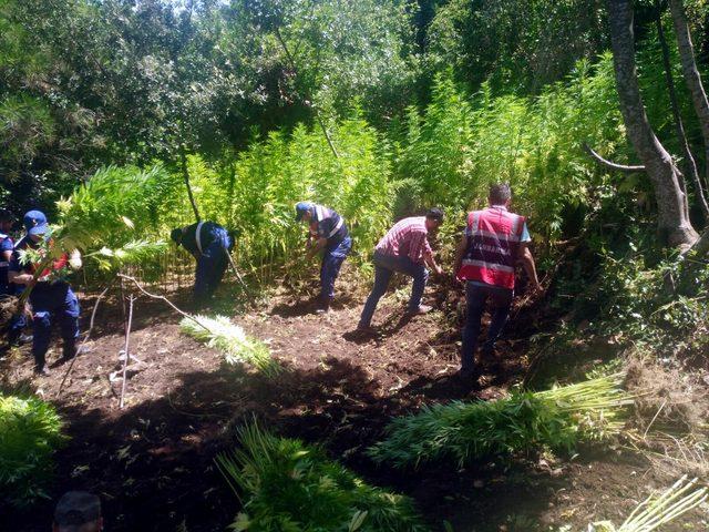 Kuşadası'nda ormanda Hint keneviri operasyonu