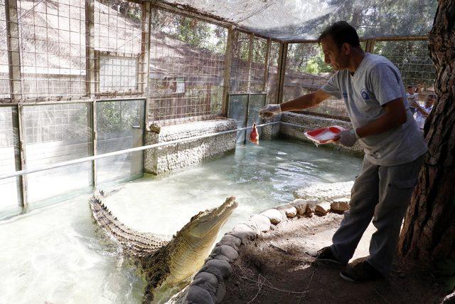 Türkiye'nin en büyük timsahı 'Muhteşem'