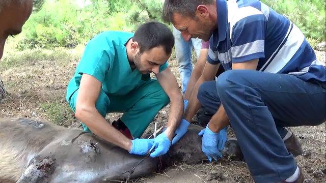 Köylülerin bulduğu yaralı eşeğin tedavisine başlandı