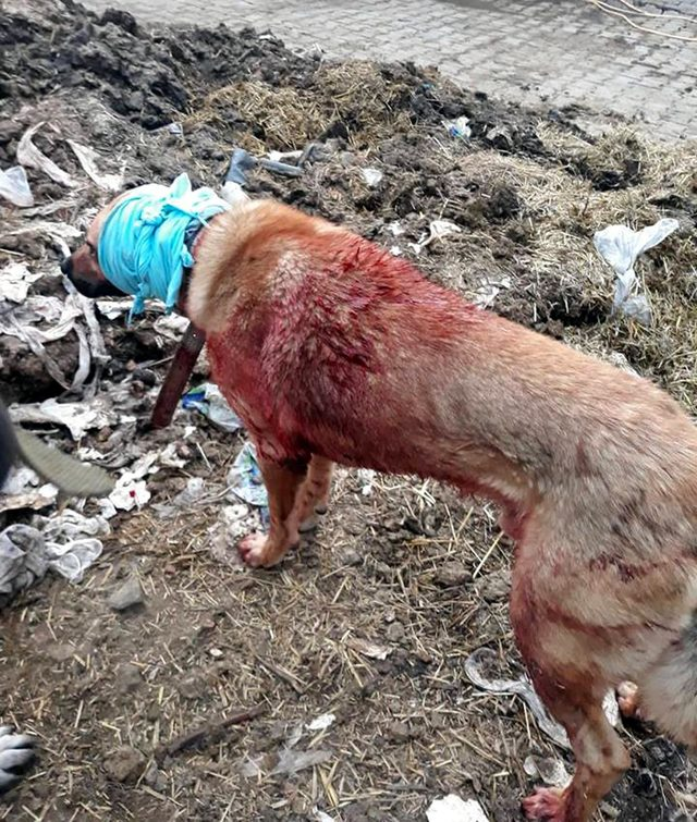 Çoban köpeğini tırmıkla yaraladılar