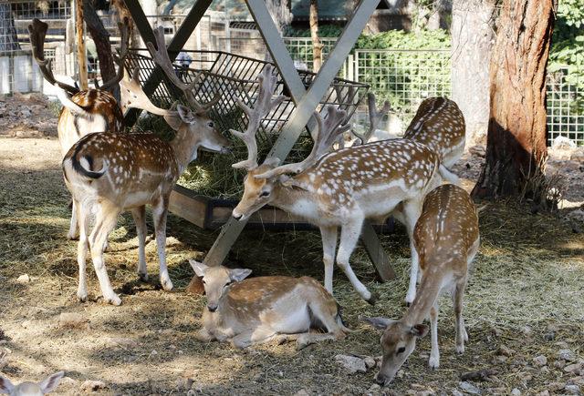 Antalya Hayvanat Bahçesi'nde 'geyik yılı'