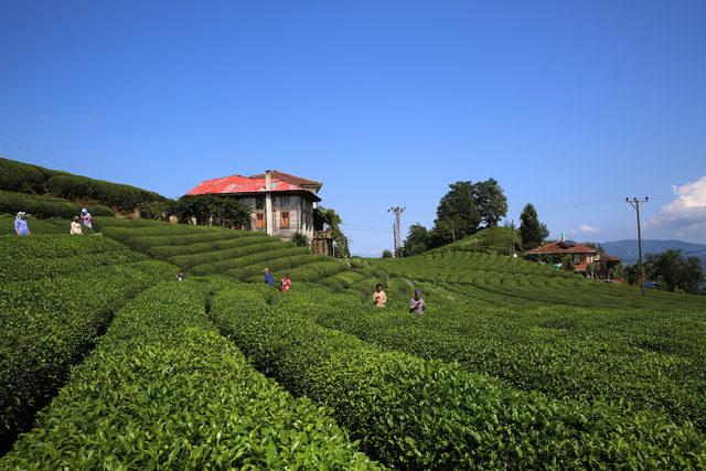 Çay tarlasına ziyaretçi akını