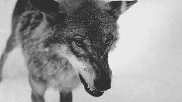 Гифы про волков