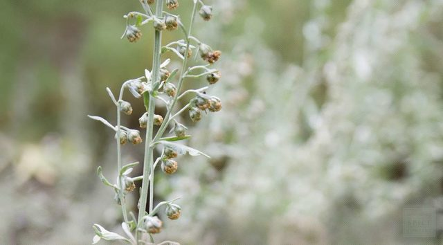 paraziták yok eden bitkiler