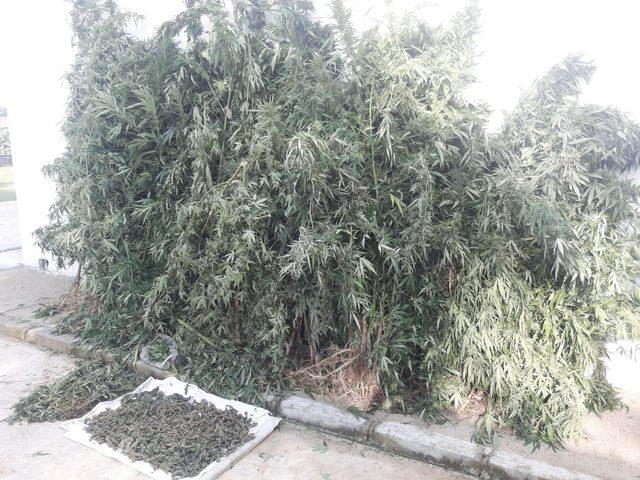 Ormanda Hint keneviri yetiştiren zanlı yakalandı