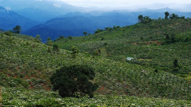 Arabica Etiyopya'daki orijinal kahve ağaçlarından gelen bir tür. Robusto ise farklı kahve harmanlarında ve hazır granül kahvelerde bulunuyor.