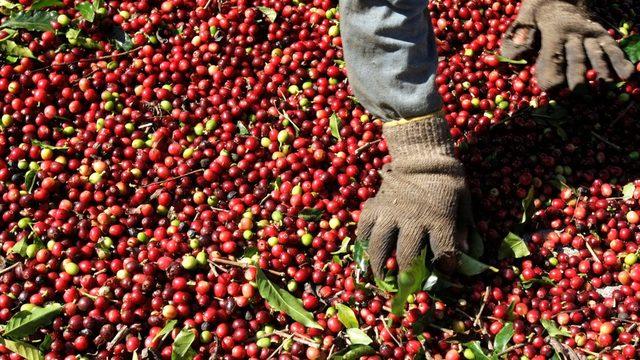 Kahve üretimi ağırlık açısından çay üretiminden daha fazla, ama bir fincan içecek yapmak için daha çok kahve gerekiyor.