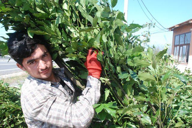 ormandan-topladigi-defne-yapraginin-tonunu-9-bin-liradan-satiyor_6868_dhaphoto3