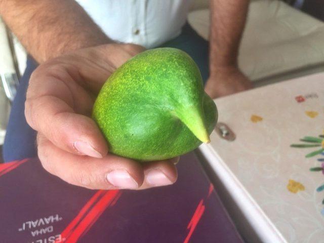 Sungurlu'da kuşa benzeyen salatalık yetiştirildi