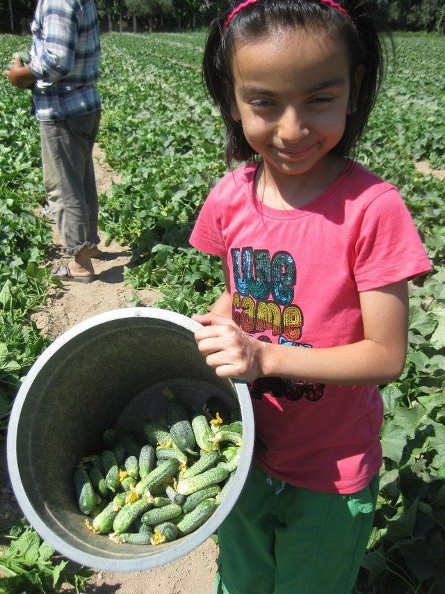 Kornişon salatalık üreticiye tam zamanında yetişti