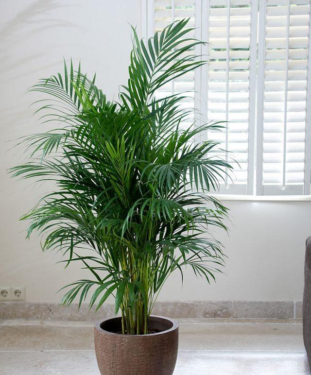 Areca palmiyesi