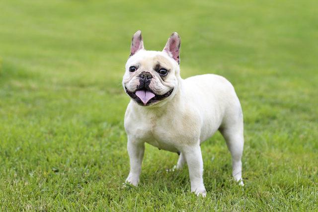 Köpek Cinsleri En Popüler Büyük Ve Küçük Köpek Cinsleri Ile Av