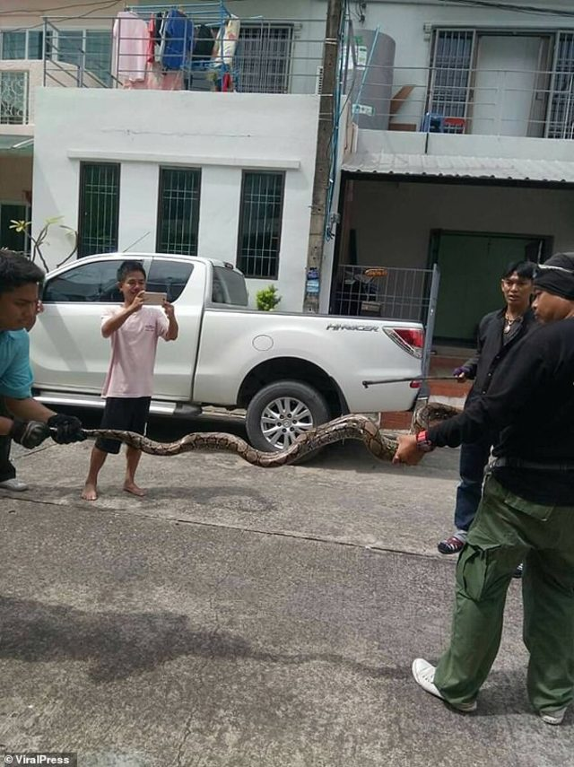 5976256-6371445-The_python_was_stuffed_into_a_sack_and_driven_away_to_be_release-a-8_1541762460642